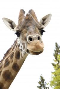 Kolmården - Giraff