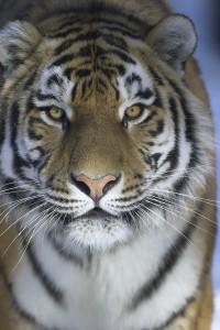 Kolmården - tiger